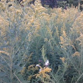 Golden Rod in bloom