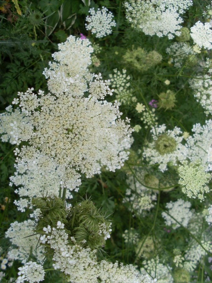 Queen Ann's Lace