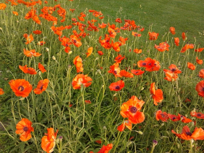 Poppies blowing in the ditch.
